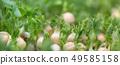 Micro green of peas 49585158
