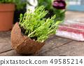 Micro green of peas 49585214