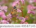 메밀 꽃과 나비 49587145