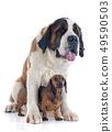 Saint Bernard and dachshund dog 49590503