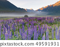Beautiful full bloom lupine flower 49591931