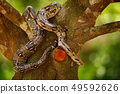 Snake on the tree trunk. Boa constrictor snake 49592626