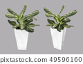Dumb Cane tree in white pot isolated on gray 49596160