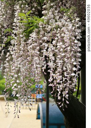 등나무꽃 49602036