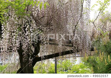 Wisteria flowers 49602037