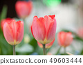 Closeup of living coral tulips in urban park 49603444