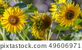 Vibrant sunflowers blooming in the sunlight 49606971