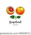 Grapefruit fruit drawing. Watercolor grapefruits on a white background. Vector illustration 49608551