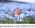 Hitachi beach park nemophila poppy 49615526
