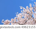Cherry blossoms with beautiful full bloom and blue sky, background material 49623155
