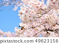 Cherry blossoms with beautiful full bloom and blue sky, background material 49623156