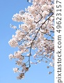 Cherry blossoms with beautiful full bloom and blue sky, background material 49623157