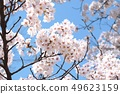 Cherry blossoms with beautiful full bloom and blue sky, background material 49623159