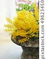 Fluffy mimosa petals in a vase, interior 49623450