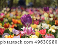 Hitachi Beach Park Tulip 49630980