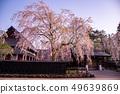 Akita Prefecture Senboku City Corner Square Weeping Cherry Blossom Corner 49639869
