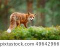 Fox in green forest. Cute Red Fox, Vulpes vulpes 49642966