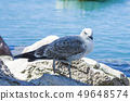 white gray and blue seagull facing the sea 49648574