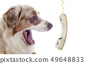 australian shepherd and phone 49648833