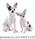 puppy and adult chihuahua 49651230