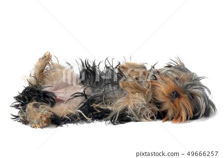 yorkshire terrier 49666257