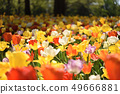 Hitachi beach park tulip yellow 49666881