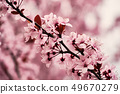 Blooming cherry plum myrobalan detail 49670279