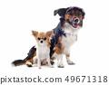 puppy chihuahua and corgi 49671318