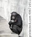 침팬지 앉아 침팬지 원숭이 원숭이 신 1 마리 야외 49671651