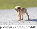 Young  golden retriever  puppy 49675689