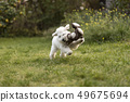White Poodle puppy playing in the garden 49675694