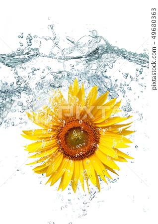 sunflower falling in water 49680363