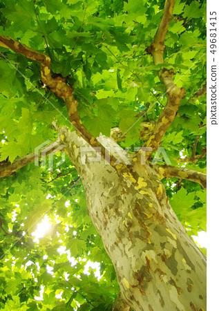 法國梧桐樹 49681415
