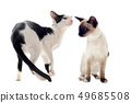 oriental and siamese cat 49685508