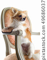 chihuahua on antique chair 49686037