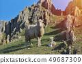 羊 绵羊 羊羔 49687309