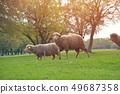 羊 绵羊 动物 49687358