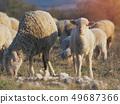 羊 绵羊 羊羔 49687366
