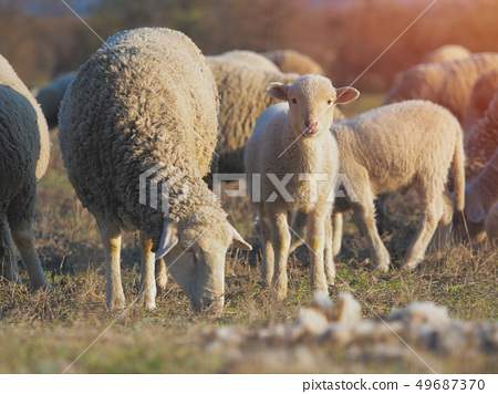Cute little lambs on fresh spring green meadow 49687370