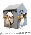 chihuahuas in house dog 49689765