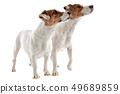 two jack russel terrier 49689859