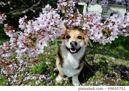 Cherry blossom dog 49695781