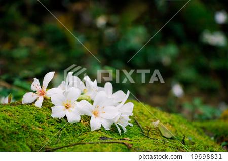 盛開的油桐花 49698831