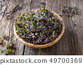 Fresh ground-ivy in a basket on a table 49700369