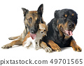 malinois, chihuahua and rottweiler 49701565
