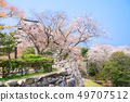 Hikone Castle Tenshu and Sakura in Ishigaki 49707512