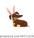 Smiling dachshund in hare ears on white background. 49711258