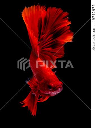 Betta fish koi fish kohaku Red White 49712976