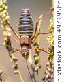 Saddle backed bush cricket 49719566