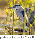 Grey heron close up of head in reed 49719586